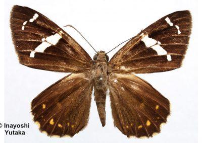 The Moore's Spotted Flatผีเสื้อปีกราบจุดนายมัวร์Celaenorrhinus sumitra