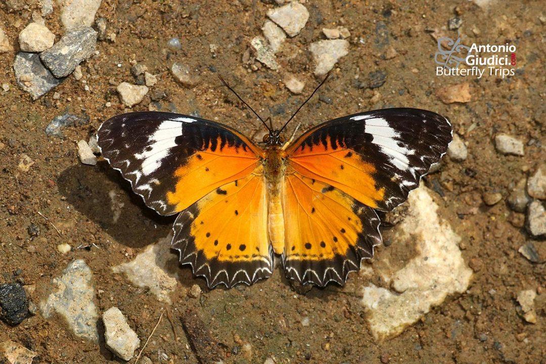 The Leopard Lacewingผีเสื้อกะทกรกธรรมดาCethosia cyane