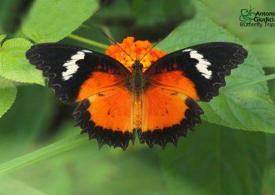 The Malay Lacewingผีเสื้อกะทกรกมลายูCethosia hypsea