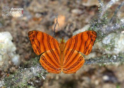 The Intermediate Mapletผีเสื้อแผนที่แดงลายประChersonesia intermedia