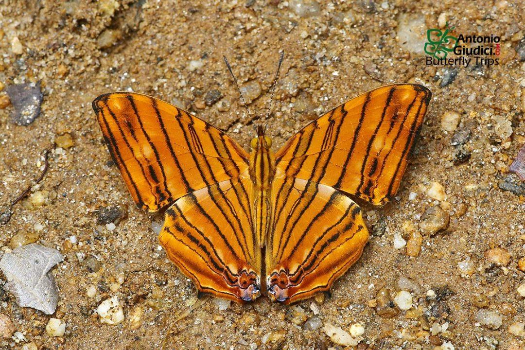 The Common Mapletผีเสื้อแผนที่แดงธรรมดาChersonesia risa