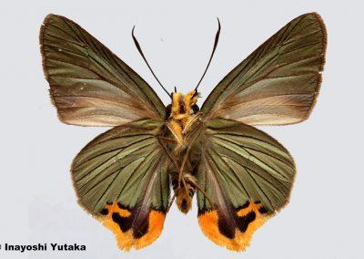 The Indian Hawlkingผีเสื้อหน้าเข็มยักษ์อินเดียChoaspes xanthopogon