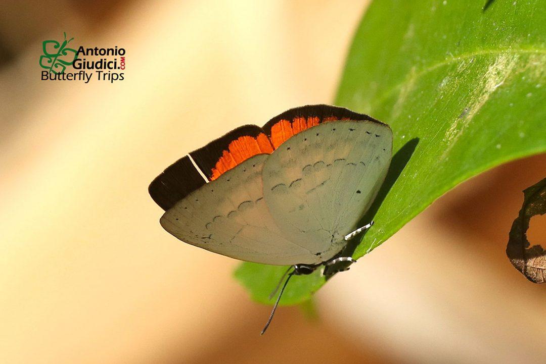 The Southern Sunbeamผีเสื้อสีหมากสุกลายหยักCuretis tagalica