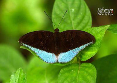 The Malay Countผีเสื้อเคาท์มลายูCynitia godartii