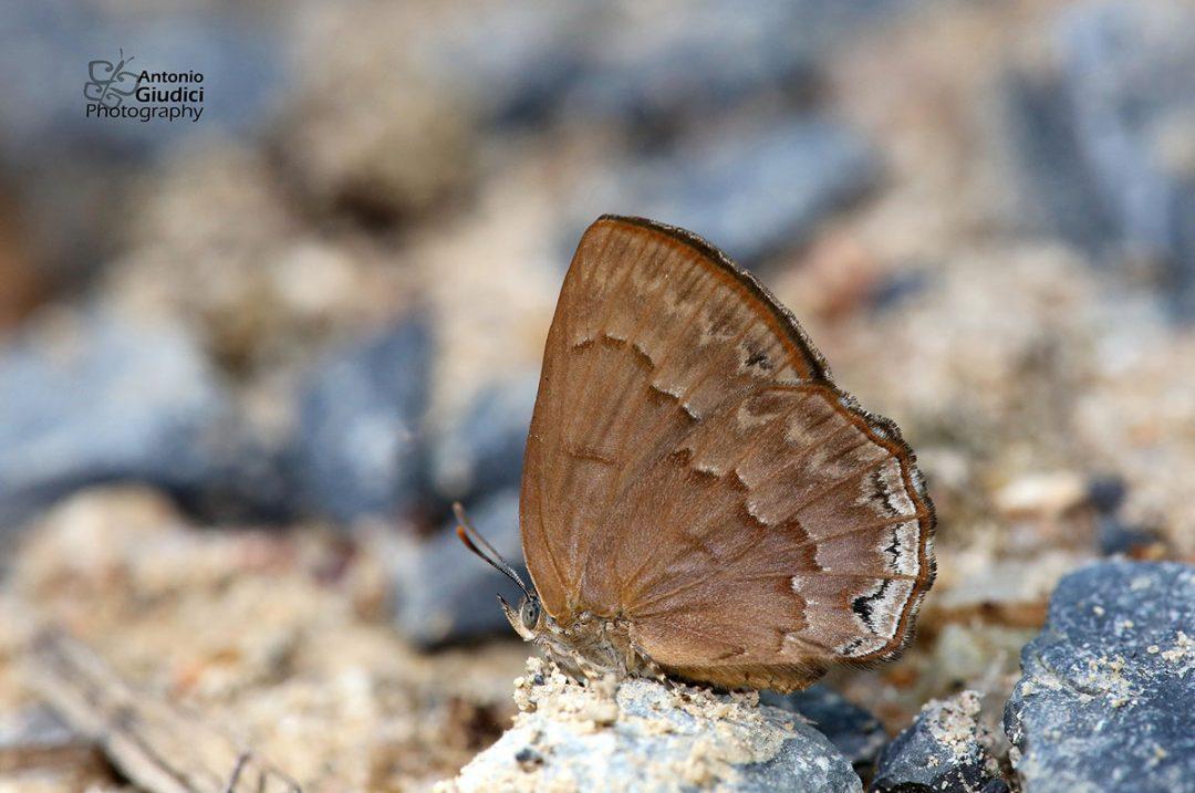 The Common Bluejohnผีเสื้อไพลินธรรมดาDeramas livens