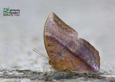 The Common Dufferผีเสื้อไผ่ลายธรรมดาDiscophora sondaica