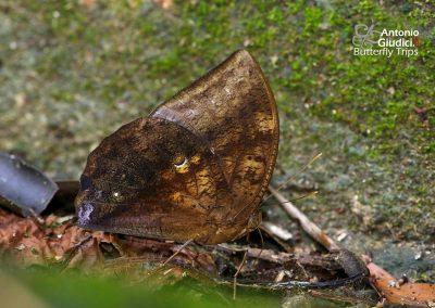 The Great Dufferผีเสื้อไผ่ลายใหญ่Discophora timora