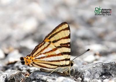 The Striped Punchผีเสื้อภูเขาลายขีดDodona adonira