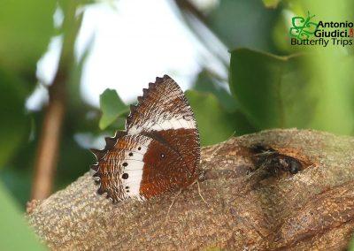 The White-banded Palmflyผีเสื้อหนอนมะพร้าวแถบขาวElymnias dara