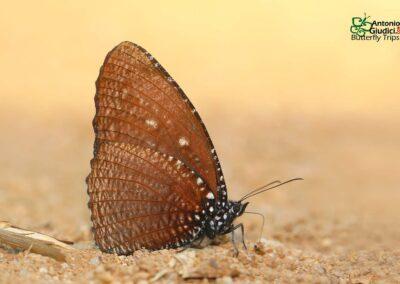The Spotted Palmflyผีเสื้อหนอนมะพร้าวลายจุดElymnias malelas