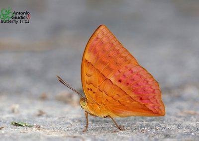The Red Caliphผีเสื้อกาหลิบแดงEnispe duranius