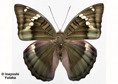 No common name yetn/aEuthalia khambournei