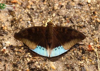 The Blue Baronผีเสื้อบารอนฟ้ามหาเทพEuthalia mahadeva