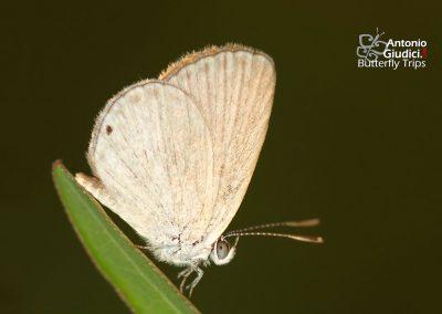 The Black-spotted Grass Blueผีเสื้อฟ้าจุดดำFamegana asulus