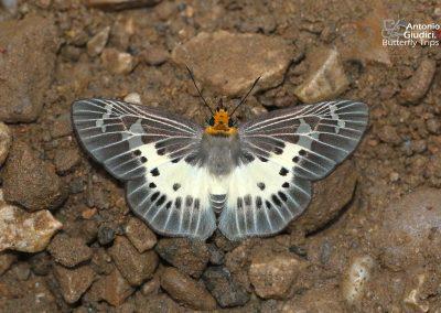 The Common White Flatผีเสื้อปีกราบขาวธรรมดาGerosis bhagava