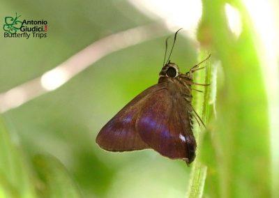 The Violet Awlผีเสื้อหน้าเข็มเหลือบม่วงแถบดำHasora leucospila