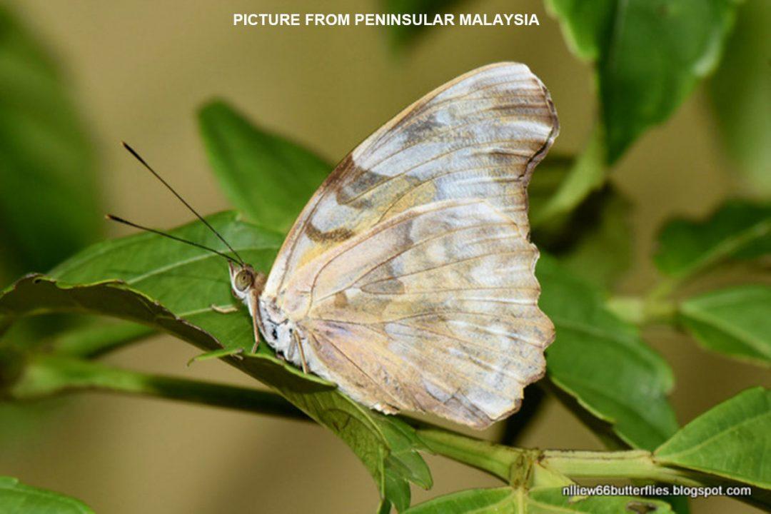 The White Pashaผีเสื้อปาชาขาวHerona sumatrana