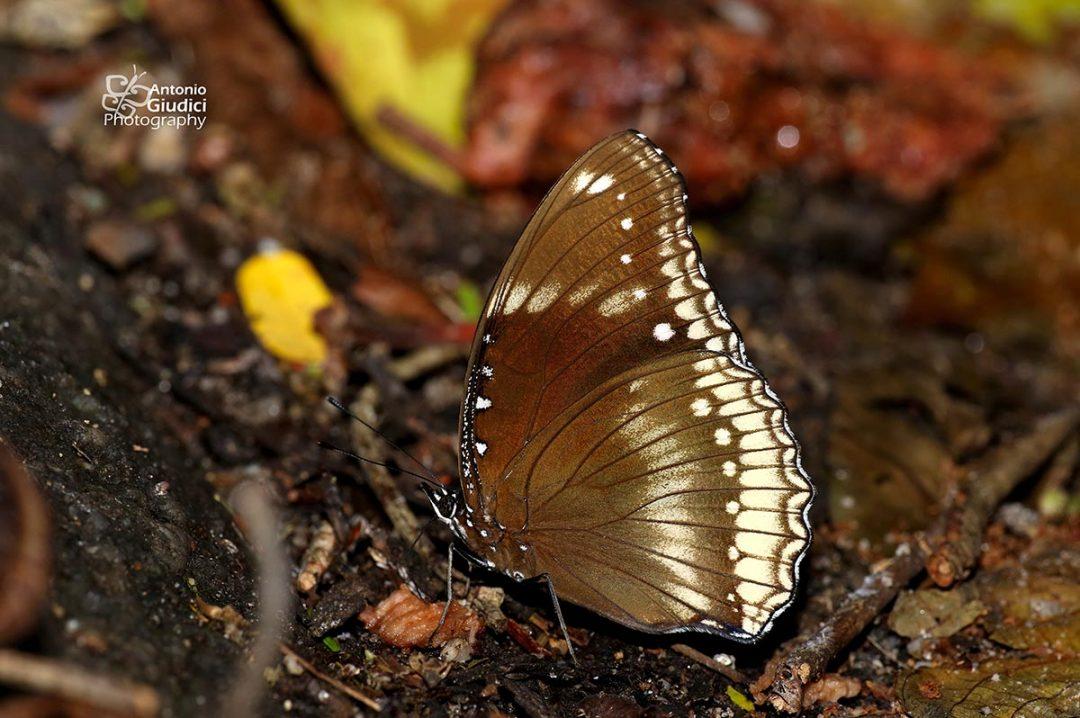 The Great Eggfly ผีเสื้อปีกไข่ใหญ่Hypolimnas bolina