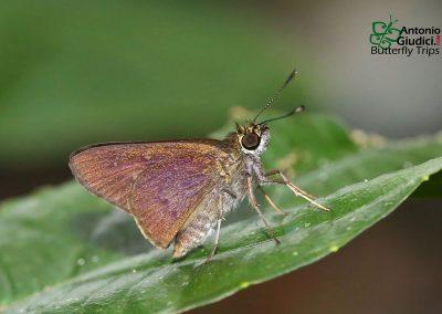 The Bicolor Long-horn Flitterผีเสื้อนิลหนวดยาวสองสีIsma protoclea