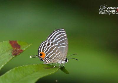 The Glassy Ceruleanผีเสื้อฟ้าวาวปีกใสเล็กJamides parasaturata