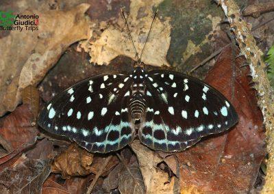 The Blue-spot Archdukeผีเสื้ออ๊าชดุ๊คจุดฟ้าLexias albopunctata
