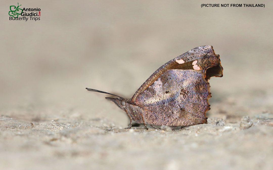 The Common Beakผีเสื้อหัวแหลมกระบองหักLibythea lepita