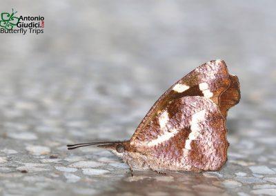 The White-spot Beakผีเสื้อหัวแหลมจุดขาวLibythea narina
