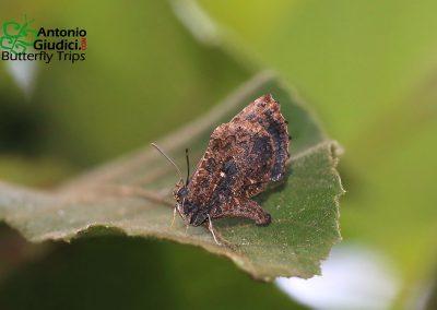 The Dark Mottleผีเสื้อลายหินอ่อนสีคล้ำLogania watsoniana