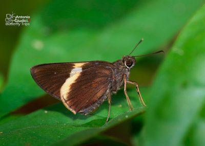 The White-tipped Palmerผีเสื้อปาล์มมุมใต้ปีกขาวLotongus calathus