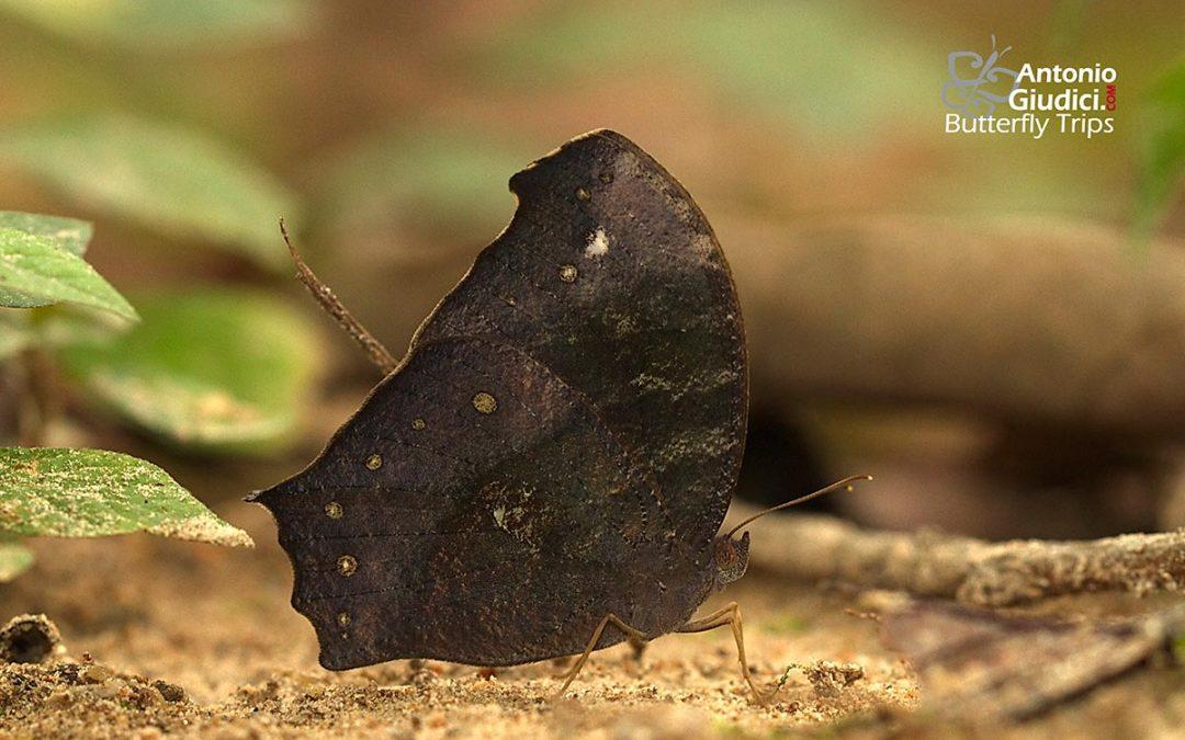 The Dark Evening Brownผีเสื้อสายัณห์สีตาลไหม้Melanitis phedima