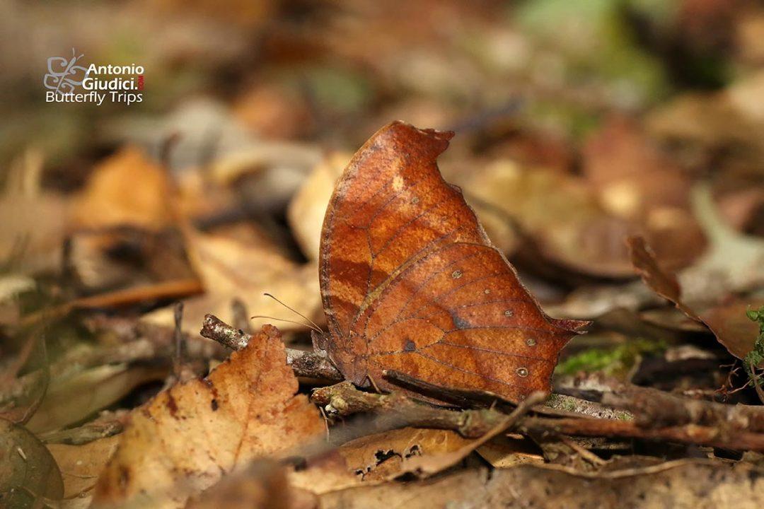 The Great Evening Brownผีเสื้อสายัณห์สีตาลใหญ่Melanitis zitenius