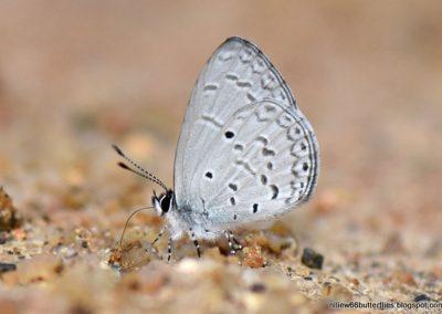 The Swinoe's Hedge Blueผีเสื้อฟ้าพุ่มสวินโฮMonodontides musina