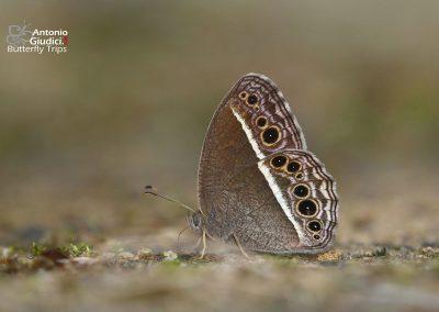 The Annam Bushbrownผีเสื้อตาลพุ่มอันนัมMycalesis annamitica