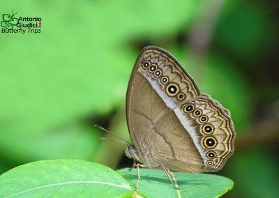 The Purple Bushbrownผีเสื้อตาลพุ่มม่วงMycalesis orseis