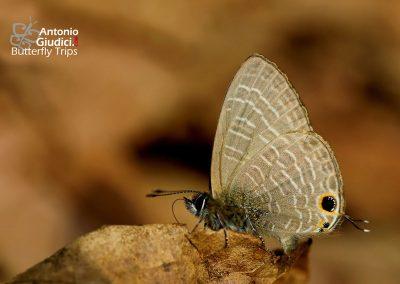 The Opaque Sixline Blueผีเสื้อฟ้าขีดหกปีกขุ่นNacaduba beroe