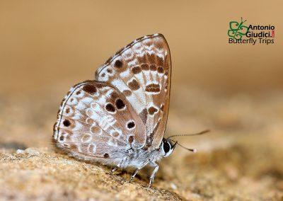 The White-banded Pierrotผีเสื้อม่วงปีกแหลมแถบขาวNiphanda asialis