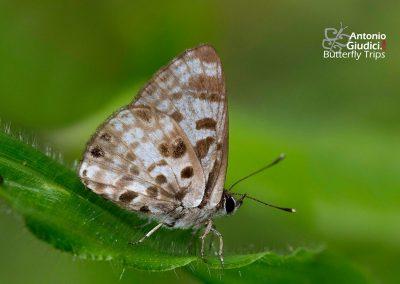 The Small Pointed Pierrotผีเสื้อม่วงปีกแหลมเล็กNiphanda cymbia