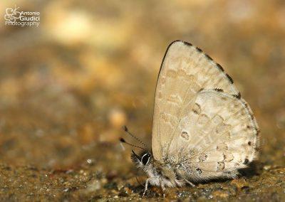 The Burmese Straight-wing Blueผีเสื้อฟ้าปีกตรงพม่าOrthomiella pontis