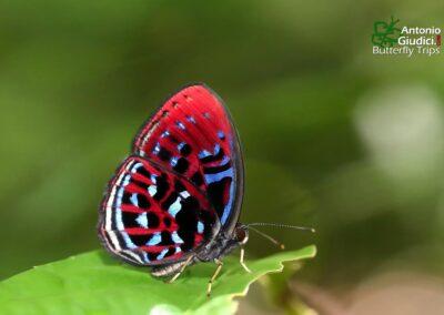 The Malay Red Harlequinผีเสื้อชาดจุดขาวมลายูParalaxila damajanti