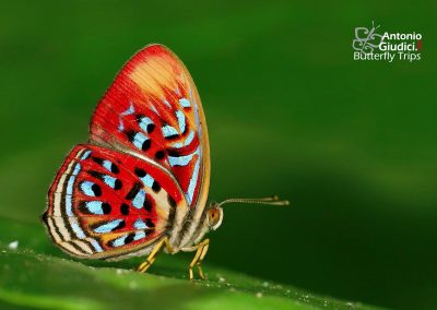 The Common Red Harlequinผีเสื้อชาดจุดขาวธรรมดาParalaxila telesia