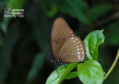 The Black Kaiserผีเสื้อไกเซอร์สามสีPenthema darlisa mimetica