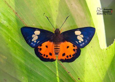 The Orange Flatผีเสื้อปีกราบส้มPintara pinwilli