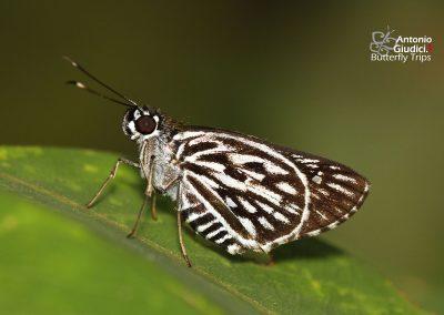 The Silver-spot Lancerผีเสื้อบินเร็วลายใต้จุดเงินPlastingia naga