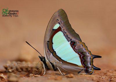 The Pallid Nawabผีเสื้อม้าเขียวแถบจางPolyura arja