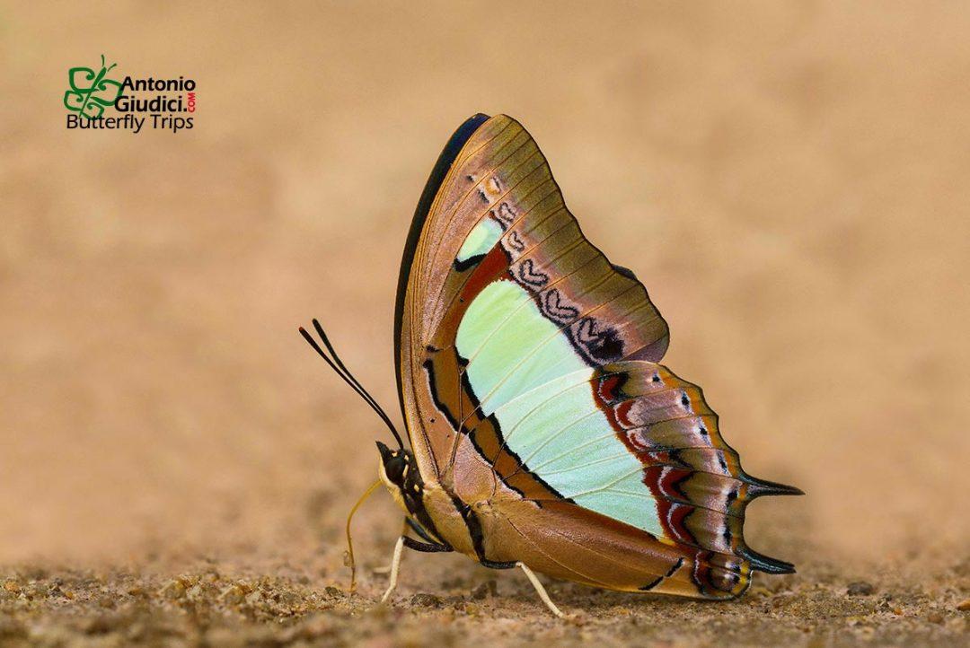 The Common Nawabผีเสื้อม้าเขียวธรรมดาPolyura athamas
