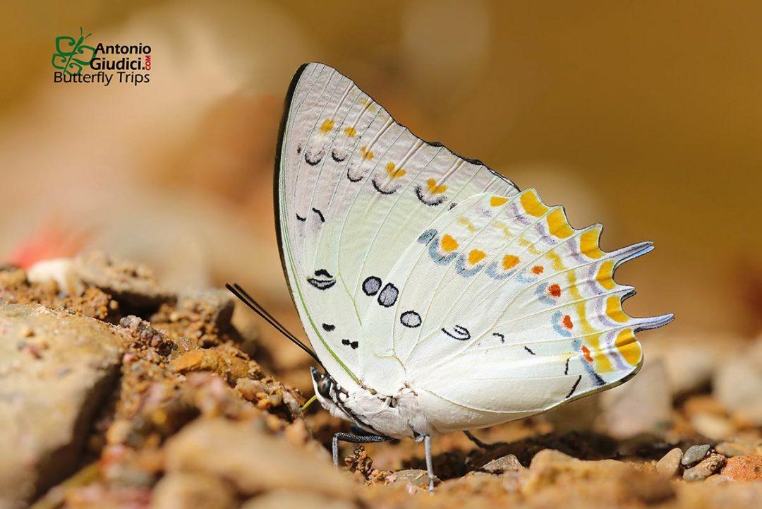 The Jewel Nawabผีเสื้อม้าขาวประดับเพชรPolyura delphis