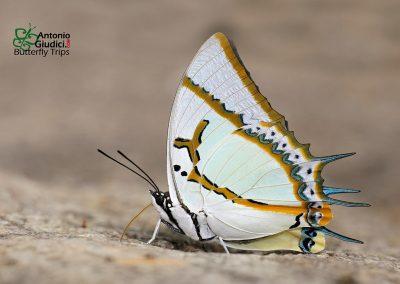 The Great Nawabผีเสื้อม้าขาวโคนปีกดำPolyura eudamippus