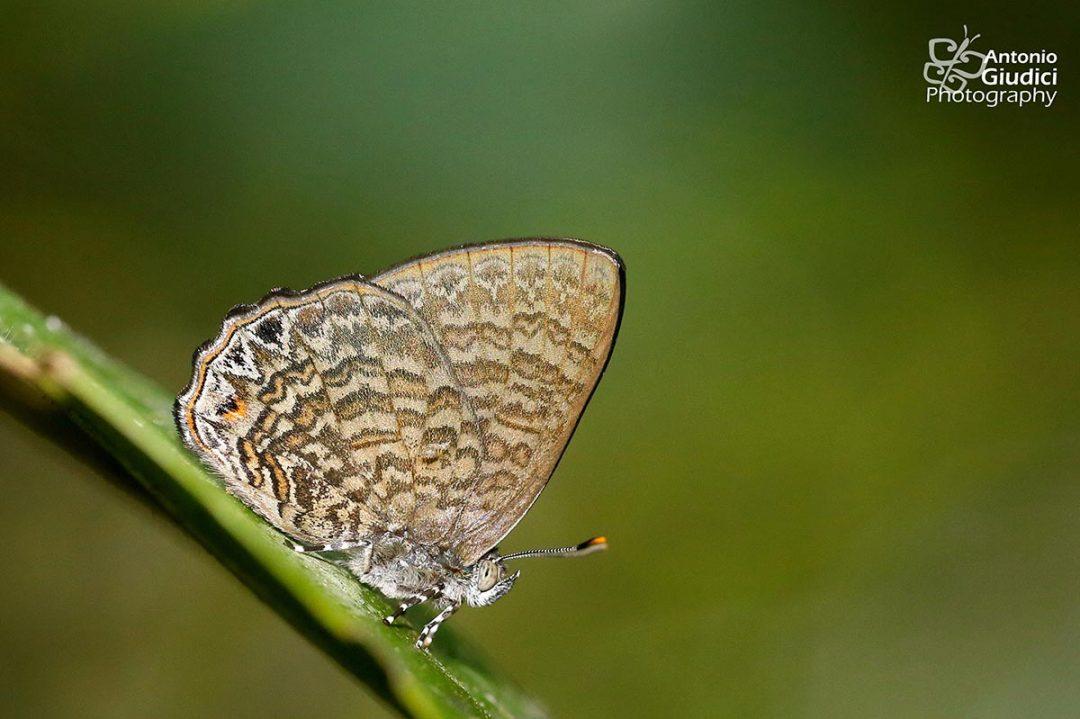The Malay Gemผีเสื้อมรกตมลายูPoritia philota