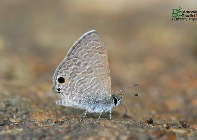 The White-tipped Lineblueผีเสื้อฟ้าขีดหกปลายขาวProsotas noreia