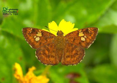 The Fulvous Pied Flatผีเสื้อลายด่างตาลแดงPseudocoladenia dan